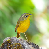 Female Golden Bush Robin Royalty Free Stock Photos