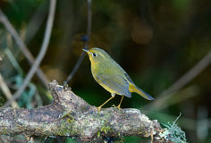 Female Golden Bush-Robin (Tarsiger chrysaeus) Royalty Free Stock Images