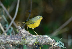 Female Golden Bush-Robin (Tarsiger chrysaeus) Royalty Free Stock Image