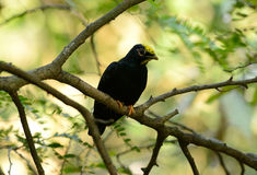 Female Golden-crested Myna (Ampeliceps coronatus) Royalty Free Stock Photography