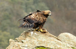 Female golden eagle Stock Photo