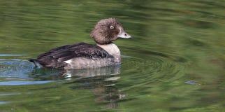 Female Golden Eyed Duck Stock Images