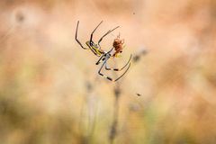 Female Golden-orb spider in a web with her prey in the Selati Game Reserve. Royalty Free Stock Photos
