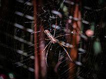 Female Golden Orb-Web Spider Nephila clavipes, also known as B. Anana Spider, standing on its web Stock Photo
