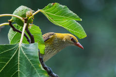 Female golden oriole peeking through leaves Royalty Free Stock Image