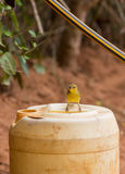 Female Golden Palm Weaver on container Stock Images