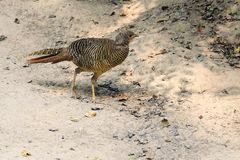 Female Golden pheasant. A female Golden pheasant walks on ground. Scientific name: Chrysolophus pictus Stock Photography