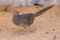 Female Golden pheasant has less attracting color royalty free stock photography