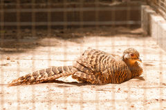 Female golden pheasant. Female golden pheasant lying on, sleeping in cage Royalty Free Stock Images