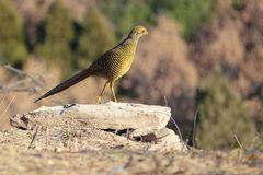 Female golden pheasant. One golden pheasant stands on the stone. Scientific name: Chrysolophus pictus Stock Image