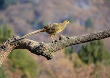 Female golden pheasant. One golden pheasant stands on the tree trunk. Scientific name: Chrysolophus pictus Royalty Free Stock Photo