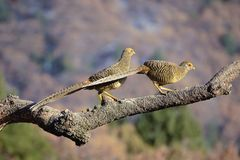 Female golden pheasant. Two female golden pheasant stand on tree trunk. Scientific name: Chrysolophus pictus Stock Images