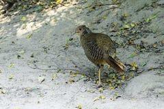 Female Golden pheasant Stock Photos
