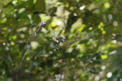Female of a Golden silk orb-weaver spider, Nephila clavata on it Royalty Free Stock Photos