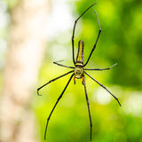 Female Golden Web Spider (Nephila pilipes) Royalty Free Stock Images