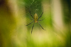 Female Golden Web Spider Royalty Free Stock Photo