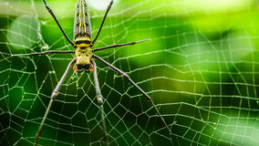 Female Golden Web Spider Nephila pilipes. Thailand Stock Photo