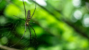 Female Golden Web Spider Nephila pilipes. Thailand Royalty Free Stock Photos