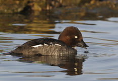 Female Goldeneye duck Stock Image
