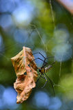 Female GoldenOrb-Web spider (Nephila Maculata). Female Golden Stock Photo