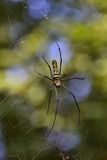Female GoldenOrb-Web spider (Nephila Maculata). Female Golden Stock Photography