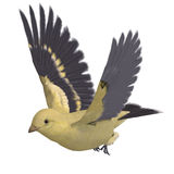Female Goldfinch. 3D rendering with clipping path. Female Goldfinch Royalty Free Stock Photo