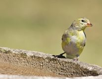 Female Goldfinch Royalty Free Stock Photo