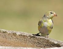 Female Goldfinch Royalty Free Stock Photo