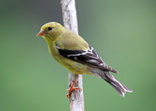 Female Goldfinch Stock Image