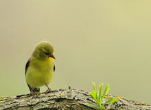 Female goldfinch on branch Royalty Free Stock Image