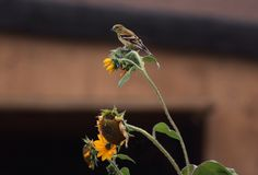 Female goldfinch Stock Photography