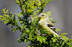 Female Goldfinch Perched in a Cedar Tree. Female Goldfinch Resting on the Soft Branch of a Cedar Tree stock image