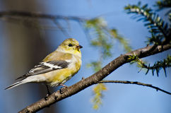 Female Goldfinch Perched in a Tree Royalty Free Stock Image