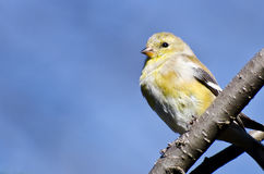Female Goldfinch Perched in a Tree Stock Image