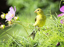 Female Goldfinch and Summer Flower. Female American Goldfinch (Spinus tristis)  bird perches  on a stalk of a Cosmos flower Royalty Free Stock Photography