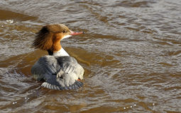 Female Goosander. Elegant head of female goosander catches afternoon light on fast flowing river, west of Scotland Stock Photos