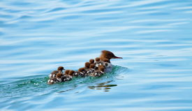 Female goosander (mergus merganser) and babies Stock Image