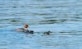 Female goosander (mergus merganser) and babies Royalty Free Stock Photo