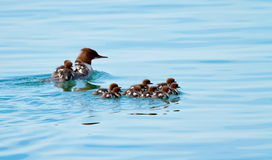 Female goosander (mergus merganser) and babies Stock Photos