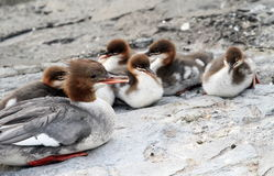 Female goosander (mergus merganser) and ducklings Stock Photo