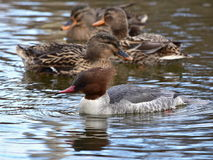 Female Goosander Mergus merganser Royalty Free Stock Photos
