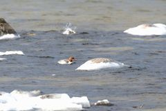 Female Goosander in cold water Stock Photos
