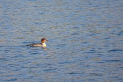 Goosander. The female Goosander is swimming in river. Scientific name: Mergus merganser Royalty Free Stock Photo