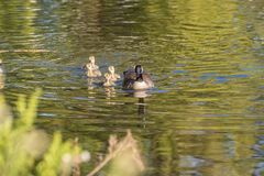 Female Goose with Goslings royalty free stock photography