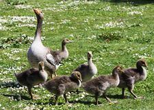 Female Goose and her Goslings Royalty Free Stock Photo