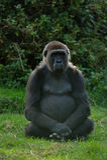 Female gorilla royalty free stock images