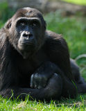 Female gorilla Royalty Free Stock Photography