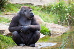 Female gorilla Stock Images