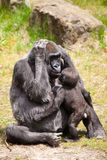 Female gorilla Royalty Free Stock Photos
