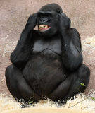 Female gorilla. In ZOO Prague - Czech Republic Europe Stock Image